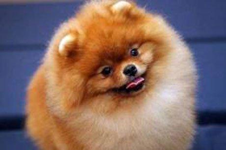 померанский шпиц фото собак